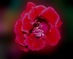 Gloxinia (megegj)) Tags: flower fleur blume fiore bloemen gert bloem gloxinia wonderfulworldofflowers