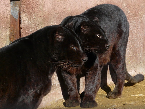 Black leopard couple