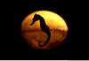 256 - hippocampus hippocampus (Ata Foto Grup) Tags: light sea water pool swim turkey dark aquarium back seahorse background türkiye istanbul su deniz yüz havuz ışık arka tematik akvaryum florya silüet karanlık sillhuette arkaplan denizatı yezme atakansevgi