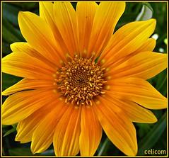 (celicom) Tags: naturaleza macro flor amarillo gervera mimamorflowers