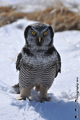 Northern Hawk Owl DSC_4100 (Ron Kube Photography) Tags: canada bird nature birds fauna nikon hawk raptor alberta owl ornithology birdofprey northernhawkowl surniaulula southernalberta d300s distinguishedraptors ronaldok nikond300s ronkubephotography