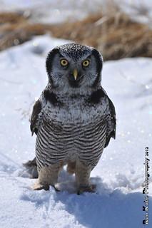 Northern Hawk Owl DSC_4100