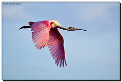 Determined Fly-By (Fraggle Red) Tags: bird inflight nationalpark wings bravo florida wildlife flamingo feathers evergladesnationalpark flyby spoonbill roseatespoonbill plataleaajaja canonef100400mmf4556lisusm enp ecopond monroeco adobelightroom3