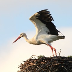 In Stork Contrast (Ger Bosma) Tags: bird dutch europe european thenetherlands stork storch ciguea cigogne whitestork ooievaar ciconiaciconia cegonhabranca earrebarre cigeablanca cicognabianca bocianbiay hvidstork  mygearandme mygearandmepremium mygearandmebronze mygearandmesilver mygearandmegold dblringexcellence flickrstruereflection1 img31932a valgetoonekur