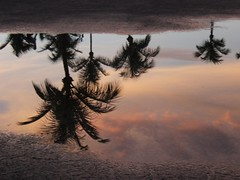 Florida Reflection (alansurfin) Tags: sky storm reflection water rain clouds keys puddle upsidedown florida palm palmtrees palmtree