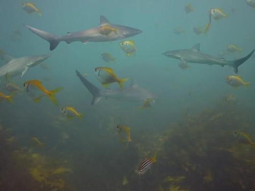 Dusky Shark (Carcharhinus obscurus)
