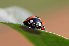 ladybird r006 (Gavin Clack) Tags: macro insects ladybird