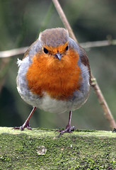 Robin (Mr Grimesdale) Tags: robin birds mr steve wallace gardenbirds britishbirds grimesdale