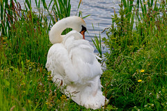 """The Swan • <a style=""""font-size:0.8em;"""" href=""""http://www.flickr.com/photos/53908815@N02/6843189162/"""" target=""""_blank"""">View on Flickr</a>"""
