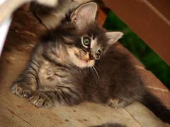 Louie (jdawn1982) Tags: cats oklahoma cat kitten kitty kittens kitties halfdozen majorcounty august2007 fairviewok