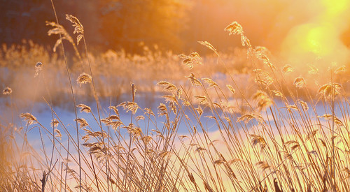 Reeds in the morning sun
