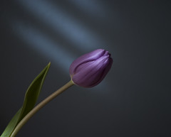 Purple tulip (hutchphotography2020) Tags: flower leaf stem nikon naturallight tulip colourartaward nikonflickraward flickraward flickraward5