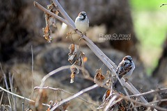 (Rhea Quitasol | Photography) Tags: california ca bird nature birds nikon wildlife nikkor f28 visalia tulare 80mm200mm d7k d7000 rheaquitasol