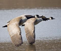They Flock Together (pheαnix) Tags: canada geese reflex minolta sony flight canadian goose delaware 500mm a700 beckspond