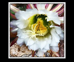 """Echinopsis"" - Aquarium - Effekt - EffiArt (eagle1effi) Tags: light cactus macro luz june germany deutschland lumix zoo licht flora stuttgart blossom lumire wildlife panasonic blte lux 2009 outofthisworld luce picnik wilhelma lumen damncool masterclass  badenwuerttemberg echinopsis fantasticflowers otw fav10 views500 10faves views100 views200 views300 fantasticflower lumixmacro eagle1effi dmcfx10 top20white excapture ae1fave 3wordcomments  rubyphotographer yourbestoftoday effiframed trichocereuscandicans lumixbest efffiart effiart2012 mystyleofframedpictures ber100malgesehen"