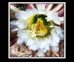 """Echinopsis"" - Aquarium - Effekt - EffiArt (eagle1effi) Tags: light cactus macro art luz june germany"