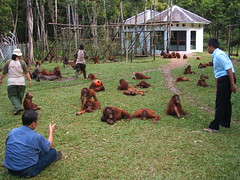 Orangutan rescue and rehabilitation centre, Indonesia. Melanie Virtue (un-grasp) Tags: orangutan rehabilitationcenter grasp