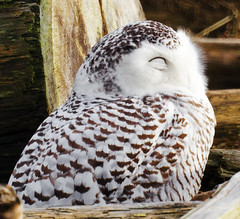 Sleeping Beauty Snowy Owl Version (TOTORORO.RORO) Tags: park sleeping portrait canada reflection bird nature beauty lens mirror reflex bc britishcolumbia wildlife sony delta translucent marsh boundarybay alpha 500mm f8 slt wetland snowyowl greatervancouver a55 buboscandiacus sal500f80