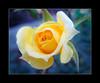 (ssouravphoto) Tags: flower love nature beauty rose friend soft friendship scenic naturesfinest supershot impressedbeauty