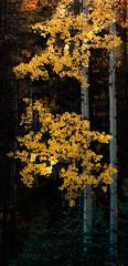 Yellow (Hiroaki Kobayashi) Tags: autumn nature landscape nationalpark jasper alberta jaspernationalpark naturephotography canadianrockies aspentrees landscapephotography calgaryphotographer leaveschange landscapephotographer