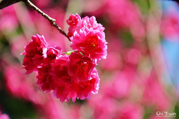 九族文化村櫻花祭-日19.jpg
