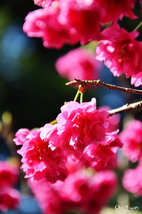 九族文化村櫻花祭-日20.jpg