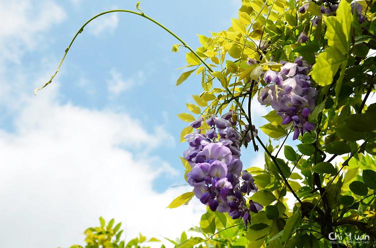竹子湖紫藤10.jpg