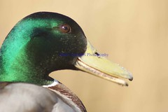DSC01106 (Mark Coombes Photography) Tags: male duck radipole