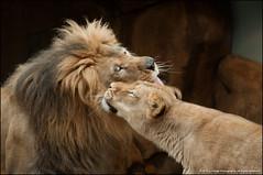 Affection (jfelege) Tags: wisconsin themba leo ngc lion lions bigcats ssp dayatthezoo panthera milwaukeezoo pantheraleo milwaukeecountyzoo mcz sanura zoosofnorthamerica wisconsinzoo zoopass flickrbigcats lionparents parentsoflioncubs speciessurvialplan zoosinwisconsin