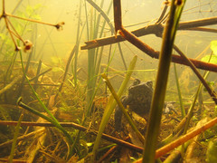 Hidden World (duckinwales) Tags: pond underwater toad urbanwildlife detritus aquatic rhyl wetland bufobufo commontoad hiddenworld breedingpond canong11