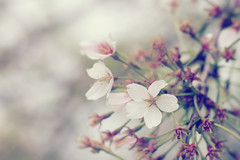 Spring is in the air. (Linh H. Nguyen) Tags: pink flower nature floral beautiful festival washington petals blossom bokeh pastel crossprocessing sakura buds dreamy nex3
