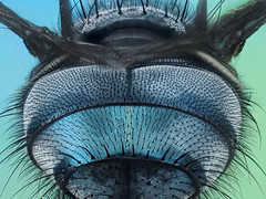 The Fly (Johan J.Ingles-Le Nobel) Tags: hairy fly back bluebottle hairs blowfly extrememacro supershot insent zerenestacker johanjingleslenobel