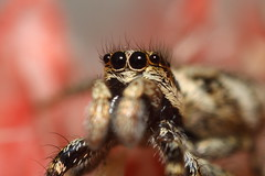 jumping spider (Derek Cluskey) Tags: macro cute closeup canon insect spider eyes arachnid tubes zebra jumper jumpingspider reversedlens 500d salticus salticusscenicus