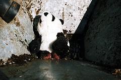 Say Goodbye to Your Little Panda Friend (jjldickinson) Tags: trash toy garbage panda teddybear stuffedanimal nikkor nikonf grinder transferstation muncher fujicolorsuperiaxtra400 nikkors50mmf14 nikonfphotomicftn ecologicologic tiffen52mmsky1a roll328