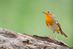 Rouge-gorge, Robin (Zed The Dragon) Tags: wild bird robin speed jaune french geotagged rouge effects photography iso800 photo flickr tits minolta photos bokeh sony main vert full f45 frame gorge fullframe alpha antony animaux parc postproduction franais greattit sal zed oiseaux 2012 francais rougegorge sceaux lightroom effets msange 200mm parcdesceaux 24x36 a850 0006sec sonyalpha hpexif alpha350 parcsceaux dslra850 alpha850 zedthedragon minoltaapo80200hs charbonnire mosaique2012a