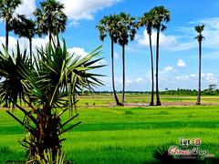 Palms - Koh Ker.jpg