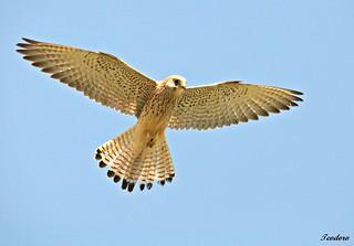 Peneireiro das torres (fêmea). Falco naumanni