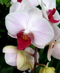 Moth Orchid (Puzzler4879) Tags: flowers orchid gardens orchids bronx ngc phalaenopsis orchidaceae botanicalgardens pointshoot nybg publicgardens botanicgardens canonpowershot newyorkbotanicalgarden whiteflowers autofocus mothorchid flowershows whiteandred canondigital canonaseries bronxbotanicalgarden canonphotography wonderfulphotos mothorchids perfectpetals bronxnewyork canonpointshoot flickraward orchidshows canona580 canonpowershota580 powershota580 awesomeblossoms 100commentgroup whiteandredflowers amazingdetails unforgettableflowers exquisitecapture mamasbloomers naturescarousel naturewithallitswonders mygearandme mygearandmepremium level1photographyforrecreation level1autofocus level2autofocus phalaenolpsisorchids