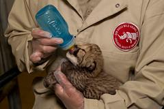 100th cheetah born (San Diego Zoo Global) Tags: history vintage zoo sandiego safaripark