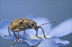 Weevil in Blue (Rense Haveman) Tags: blue macro garden manualfocus weevil pentaxaf360fgz snuitkever polydrususcervinus pentaxk5 panagor90mmf28pmcautomacro reversedsmcpentaxa5017
