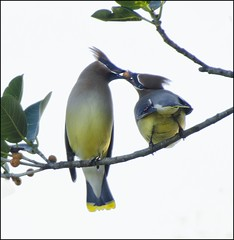 Cedar Waxwing Lovers ( Explored On May 1st. 2012 #253 ) (billkominsky ) Tags: green wetlands cay spectacularanimals
