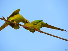 1IMG_5370 SERIES - PAIR OF PARAKEET IN LOVE - MALE KISSES FEMALE (Rajeev India (THANKS for views, comments n faves)) Tags: male love female pair kisses parakeet series in of
