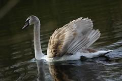 Schwan (manuela_dmtr) Tags: white water swan aqua wasser natur blau schwan