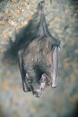 Bat Hanging Out (Eric Kilby) Tags: stone closeup zoo bat hanging cave