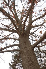 "Oak Tree <a style=""margin-left:10px; font-size:0.8em;"" href=""http://www.flickr.com/photos/91915217@N00/13528302185/"" target=""_blank"">@flickr</a>"