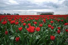 FXT10442_Bollenveld_HDR.jpg (gerlof hoekstra) Tags: fuji tulipfield tulpen bollenveld xt1 fujinonxf14mm