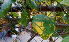 Around the yard  Grapevine (Brent A. Jones) Tags: sunset shadow plants outdoor grape grapevine