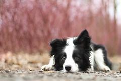 BONNIE (natee_lukacova) Tags: pink blackandwhite dog love canon collie czech princess sweet border bordercollie simply phtography