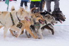 Dog PACK (Benocrash) Tags: dog chien snow norway pole svalbard arctic neige polar sled arctique longyearbyen northernmost polaire norvge traneau d7100