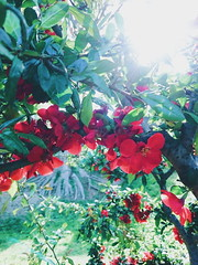(akashirokiiro) Tags: flower japan aomori hachinohe japanesequince  chaenomeles floweringquince    xperia